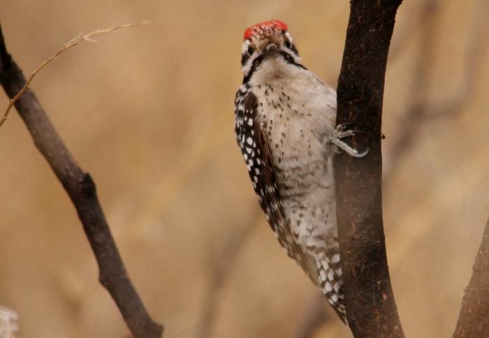 Ladder-backed Woodpecker (7) (1024x709)