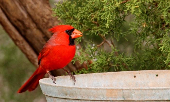 Northern Cardinal (10) (1024x614)