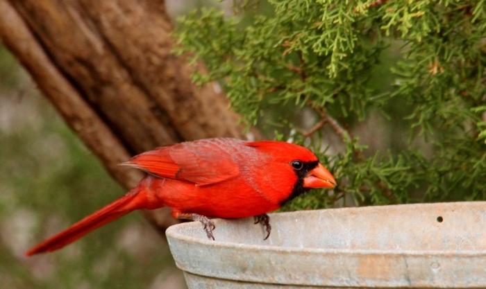 Northern Cardinal (11) (1024x611)