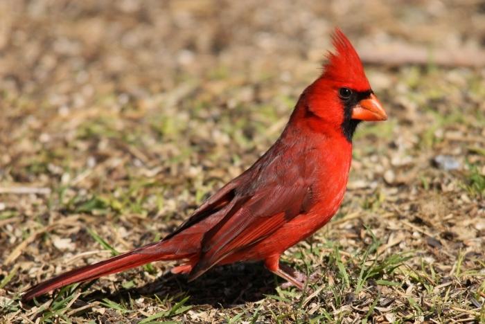 Northern Cardinal (8) (1024x685)