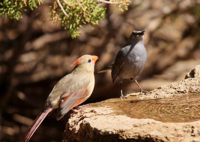 Northern Cardinal and Gray Catbird (2) (1024x729)