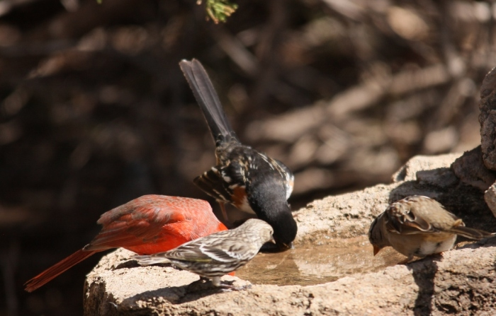 Northern Cardinal, White-crowned Sparrow, Spotted Towhee, Pine Siskin (1024x655)