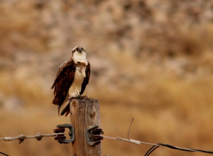 Osprey (1) (1024x752)