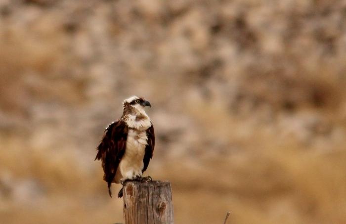 Osprey (3) (1024x663)