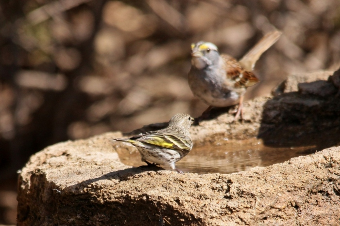 Pine Siskin and White-throated Sparrow (1024x684)