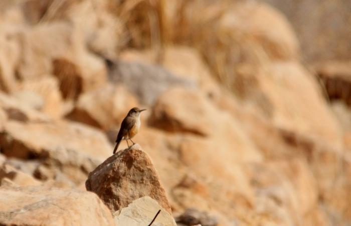 Rock Wren (1) (1024x662)