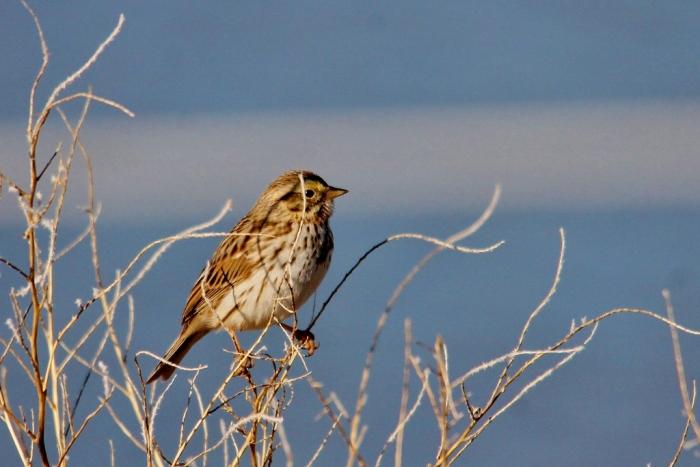 Savannah Sparrow (1) (1024x684)