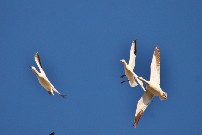 Snow goose (1) (1024x684)