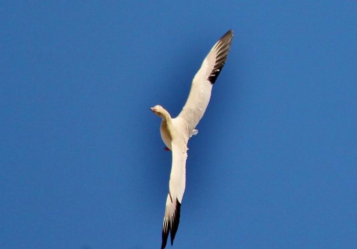 Snow goose (2) (1024x716)