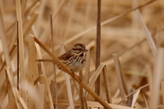Song Sparrow (2) (1024x684)