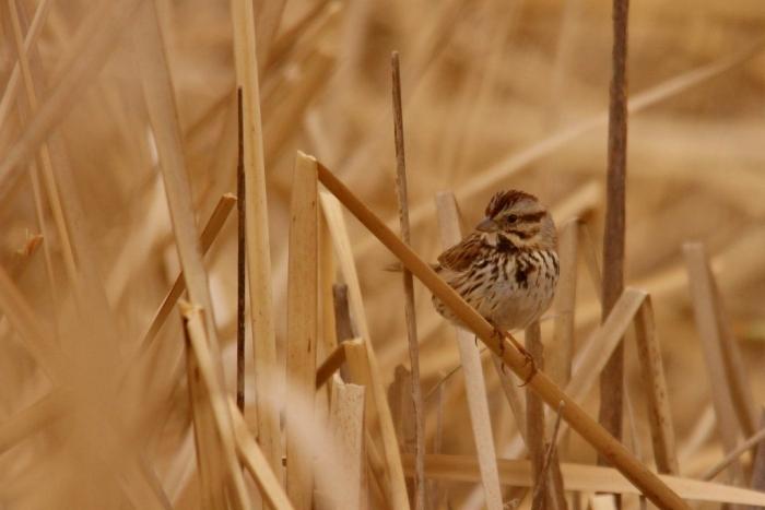 Song Sparrow (3) (1024x684)