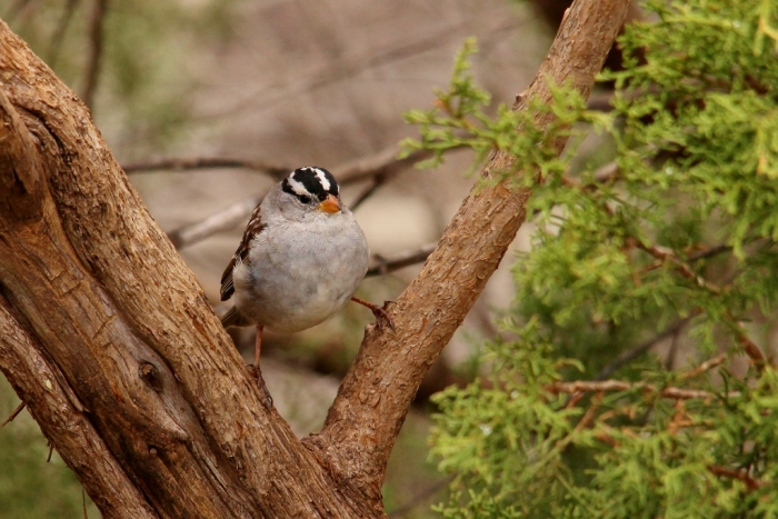 White-crowned Sparrow (11) (1024x684)