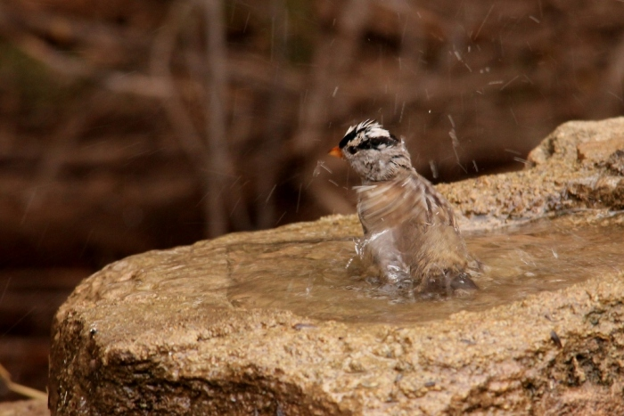 White-crowned Sparrow (9) (1024x684)