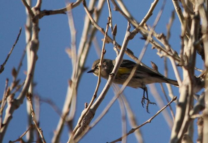 Yellow-rumped Warbler (1) (1024x709)