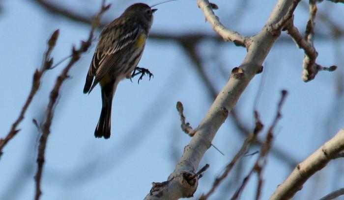 Yellow-rumped Warbler (2) (1024x598)