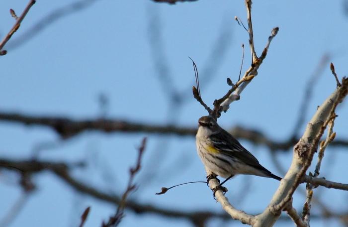 Yellow-rumped Warbler (3) (1024x668)