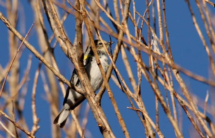 Yellow-rumped Warbler (6) (1024x656)