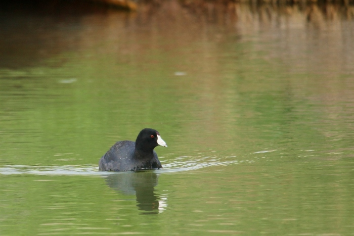 American Coot (10) (1024x684)