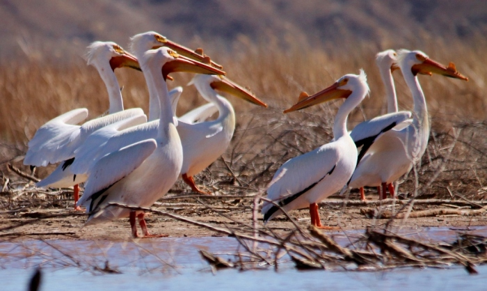 American White Pelican (11) (1024x612)