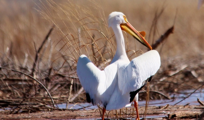 American White Pelican (13) (1024x602)
