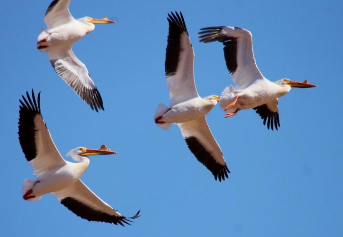 American White Pelican (15) (1024x707)