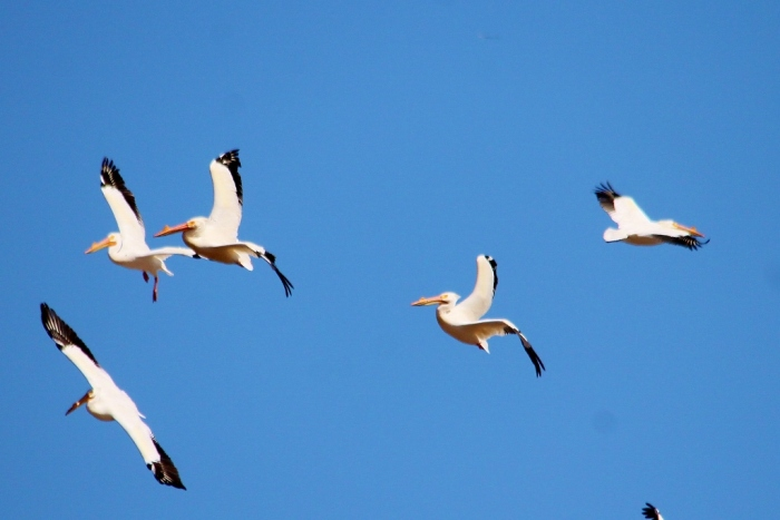 American White Pelican (18) (1024x684)