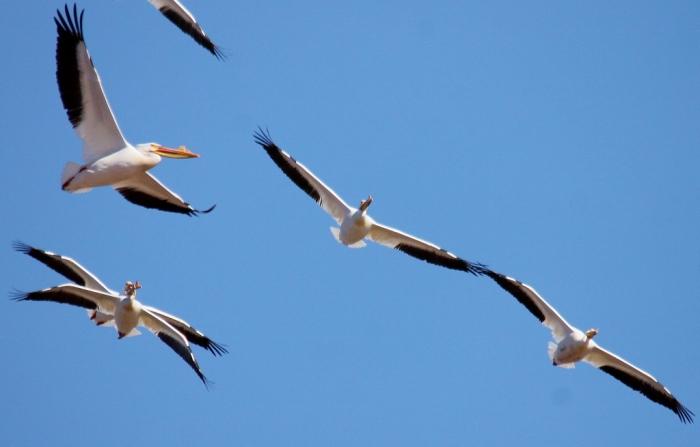 American White Pelican (20) (1024x655)