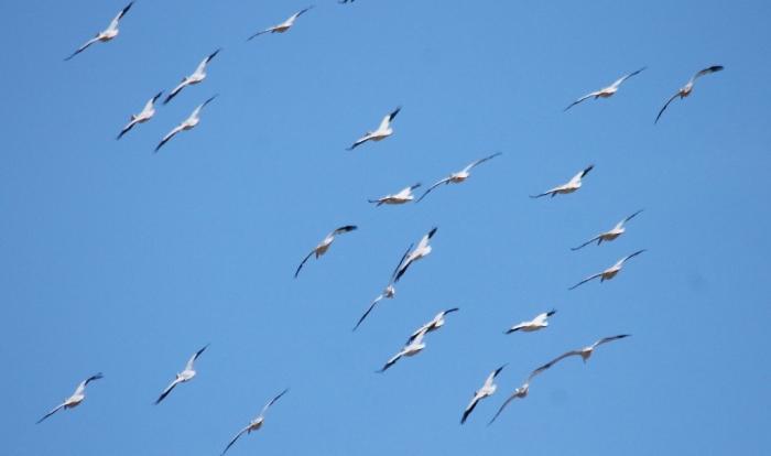 American White Pelican (21) (1024x607)