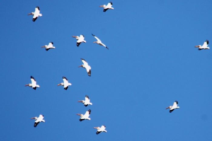 American White Pelican (22) (1024x684)
