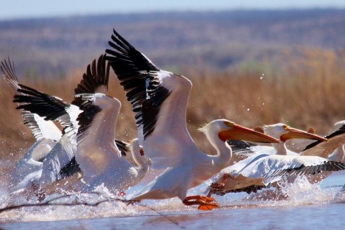 American White Pelican (3) (1024x684)