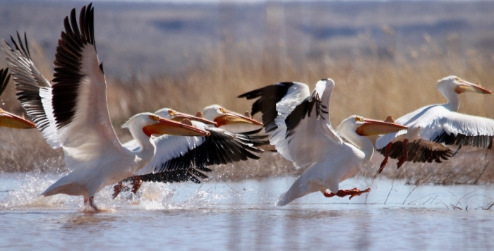 American White Pelican (4) (1024x522)