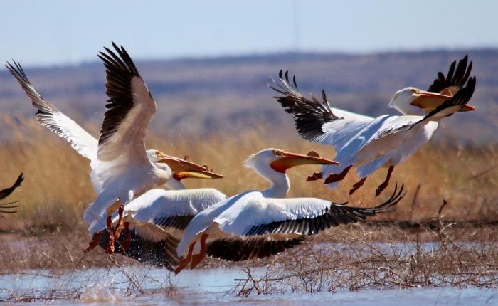American White Pelican (6) (1024x630)