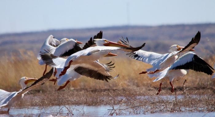 American White Pelican (7) (1024x562)