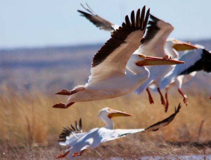 American White Pelican (8) (1024x779)