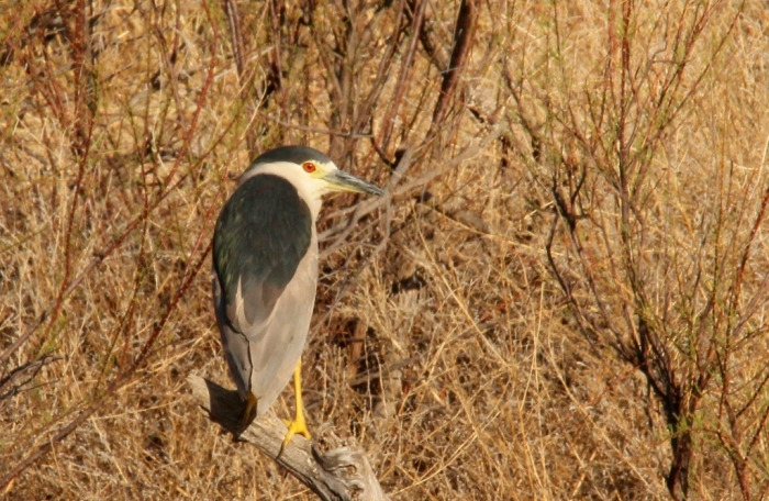 Black-crowned Night-Heron (2) (1024x668)