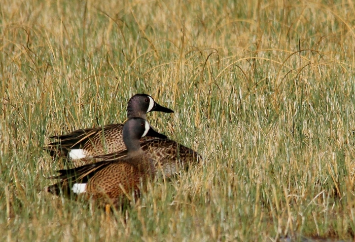 Blue-winged Teal (41) (1024x700)