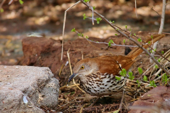 Brown Thrasher (4) (1024x684)