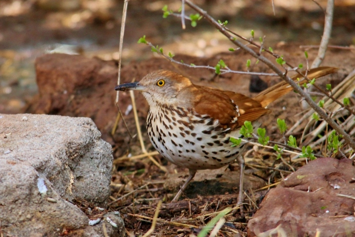 Brown Thrasher (7) (1024x684)