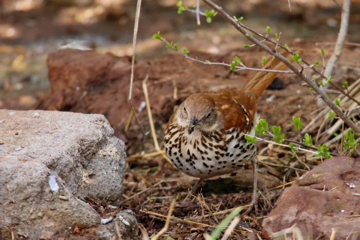 Brown Thrasher (8) (1024x684)