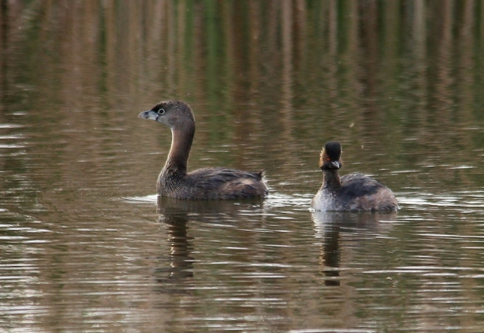 Eared Grebe and Pied-billed Grebe (8) (1024x706)