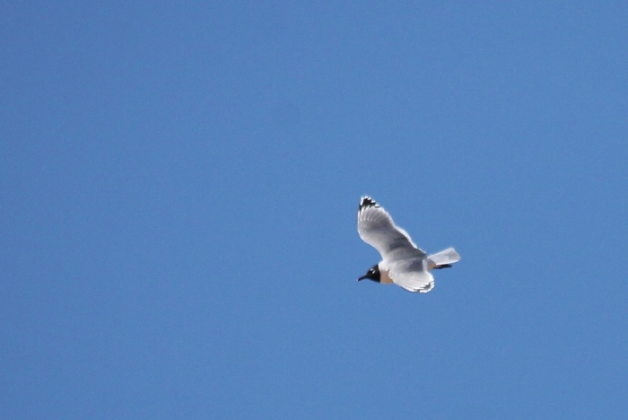 Franklin's Gull (17) (1024x686)