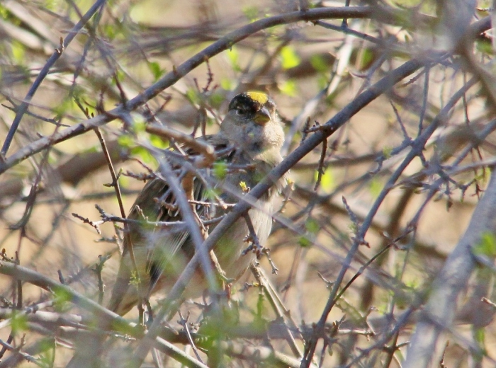 Golden-crowned Sparrow (16) (1024x762)
