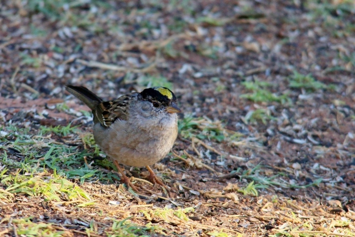 Golden-crowned Sparrow (22) (1024x684)