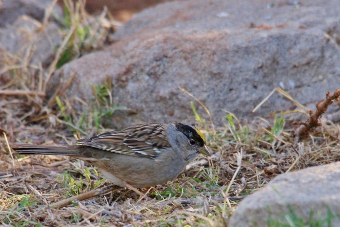 Golden-crowned Sparrow (3) (1024x684)