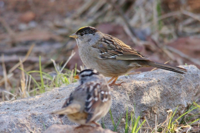 Golden-crowned Sparrow (5) (1024x684)