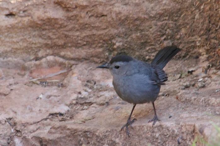 Gray Catbird (22) (1024x684)