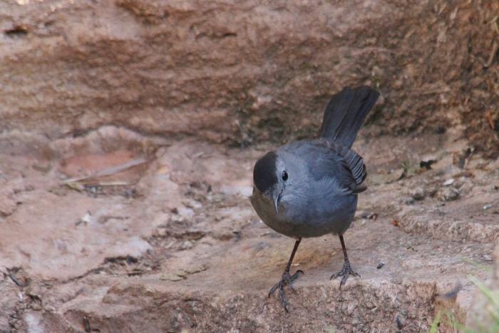Gray Catbird (24) (1024x684)