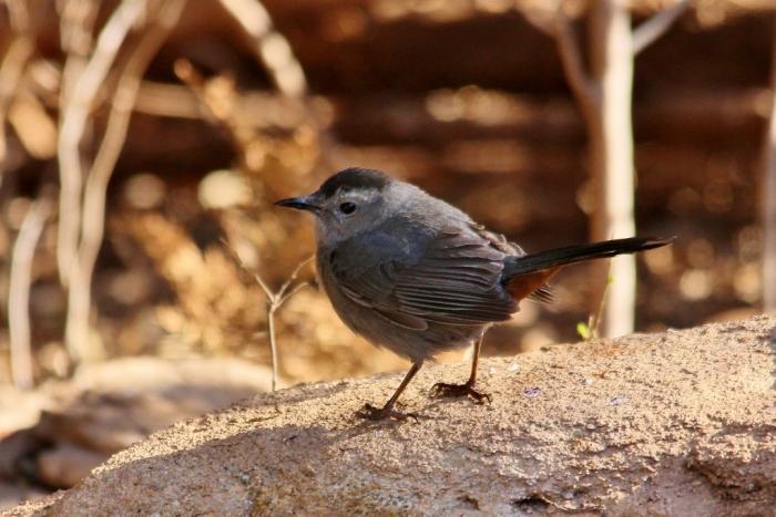 Gray Catbird (27) (1024x684)