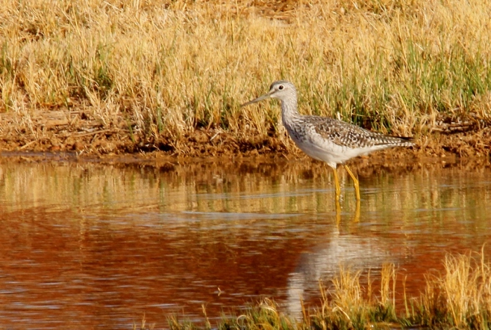 Greater Yellowlegs (25) (1024x689)