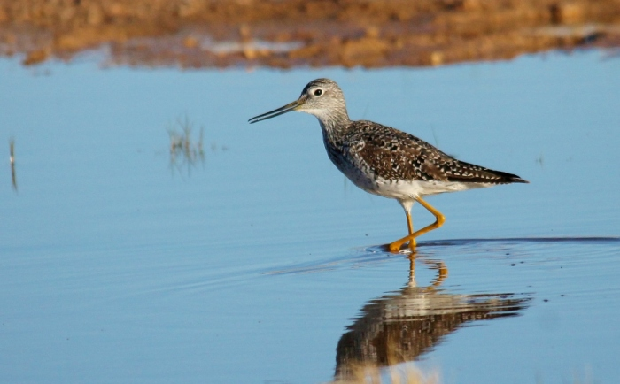 Greater Yellowlegs (26) (1024x636)